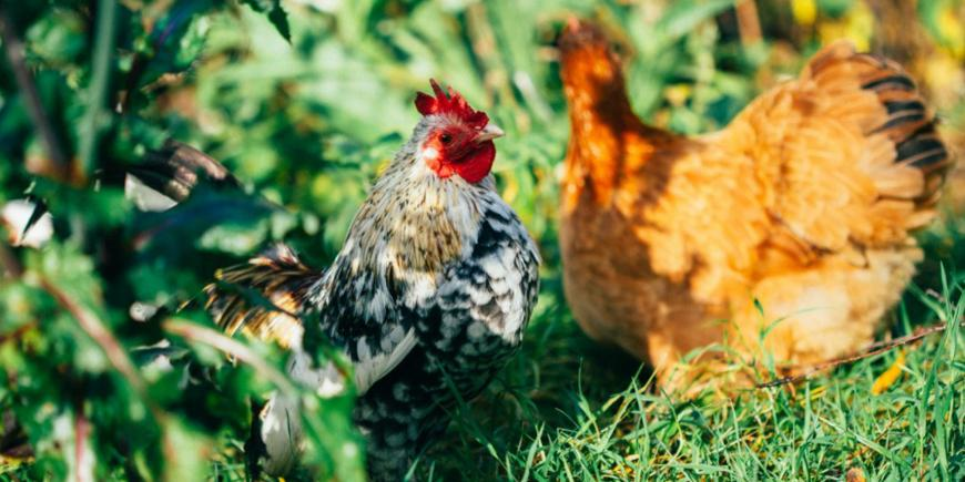 EIT Food's C-SNIPER project fighting against Campylobacter in poultry